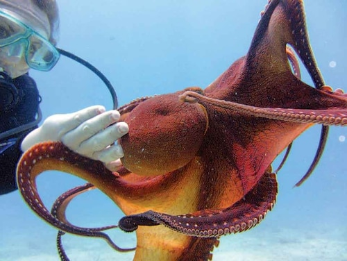 Researchers from the Army and Cornell University are studying how an octopus can change its skin texture and color to see how that capability could be applied to the military. (Army)