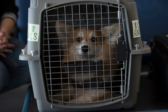 Fritzi, a corgi, sits in a dog crate at the Ramstein Passenger Terminal, Ramstein Air Base, Germany, May 29, 2020. (Airman 1st Class Taylor D. Slater/Air Force)
