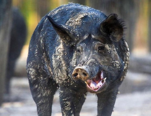 Wild hogs have bedeviled military bases nationwide. The U.S. Army Corps of Engineers' Kansas City District joined the Missouri Feral Hog Partnership to eradicate them there. In Mississippi, state officials have offered to build a barrier at Naval Air Station Meridian. (Missouri Department of Conservation )