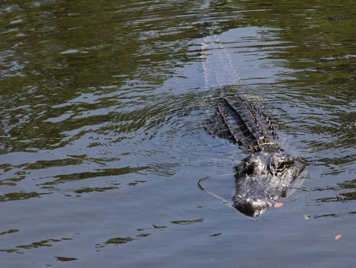 An American alligator swims in a cypress swamp in the Jean Lafitte National Historical Park and Preserve, Barataria, La., on April 22, 2017. (Thomas Watkins/AFP via Getty Images)