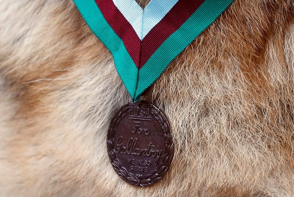 "The Dickin Medal is shown on military working dog Ayron, who received the PDSA Dickin Medal, the animal equivalent of the Victoria Cross, on Chips' behalf at a ceremony in London on Monday. The bronze medallion bears the inscriptions ""For Gallantry"" and ""We Also Serve."" (Kirsty Wigglesworth/Associated Press)"