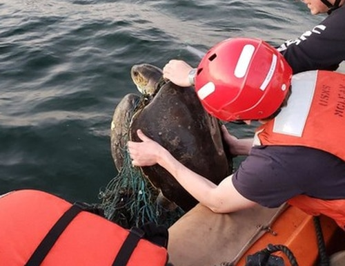 Some kind souls on board the dry cargo ship William McLean saved two sea turtles caught in an old net Feb. 3 in the Arabian Sea. (Navy)