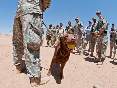 A 3-year-old chocolate lab and tactical explosives detector dog chews on a tennis ball at the National Training Center on Fort Irwin, Calif., in 2012. (Sgt. Christopher M. Gaylord/Army)