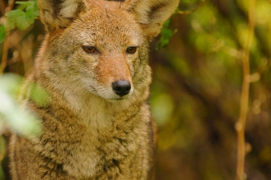There have been four reported coyote attacks in vicinity of the II Marine Expeditionary Force Information Group area command. (Tjflex2/Flickr CC 2.0)