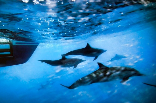 """This Oct. 15, 2014, photo shows dolphins swimming along the side of a boat off the coast of San Pedro, Calif. Defense legislation backed by Republicans would kill 250 marine mammals and permanently injure 3,000 others, according to House Democrats fighting to keep out """"anti-environmental"""" measures. (Richard Vogel/AP)"""