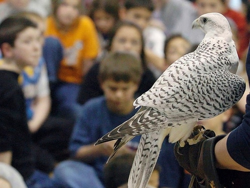 In this photo taken in 2004, Aurora, a rare white gyrfalcon and Air Force Academy mascot, visits Pinon Valley Elementary School in Colorado Springs, Colo., on the arm of an academy cadet in the falconry program. Aurora, injured at West Point during an apparent prank before the annual rivalry game between the two service academies Saturday, is back home and showing signs of improvement. (Jerilee Bennett/The Gazette via AP)
