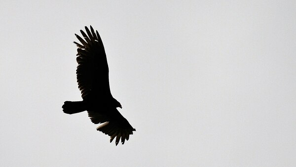 A turkey vulture flies over the flightline, March 30, 2015, at Seymour Johnson Air Force Base, N.C. (Airman 1st Class Aaron J. Jenne/Air Force)