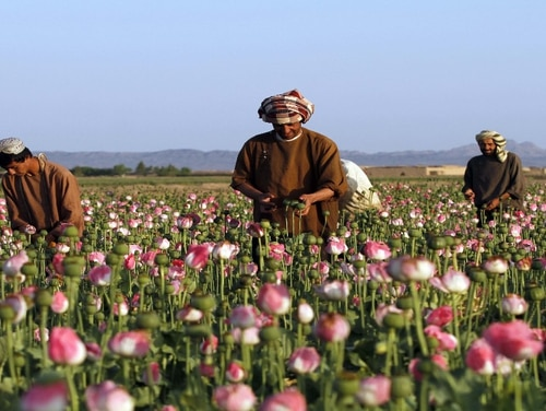 Afghan farmers harvest raw opium at a poppy field in southern Kandahar province, Afghanistan. The Defense Department claims the Taliban's grip on the narcotics trade is driving its Afghan policy shift. (Allauddin Khan/ Associated Press)