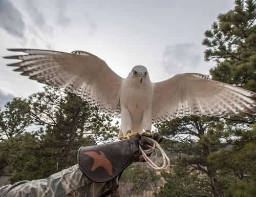 Aurora, a gyrfalcon and academy mascot, spreads her wings Jan. 12, 2017, at the U.S. Air Force Academy, Co. (Master Sgt. Brian Ferguson/Air Force)