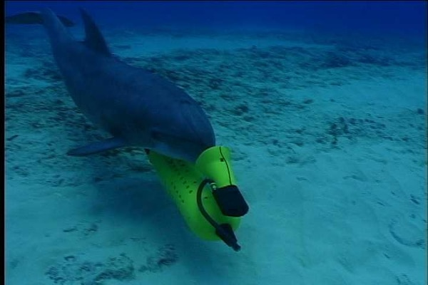 In the MK 7 MMS, dolphins are trained to detect and/or mark the location of mines sitting on the ocean bottom or buried in sediment.