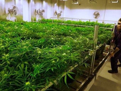 Grower Dave Wilson cares for marijuana plants in the
