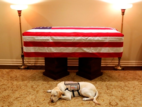 Sully, President George H.W. Bush's service dog, lies in front of Bush's casket in Houston on Sunday, Dec. 2, 2018. The 41st president died Friday at his home in Houston at age 94. (Evan Sisley/Office George H.W. Bush via AP)