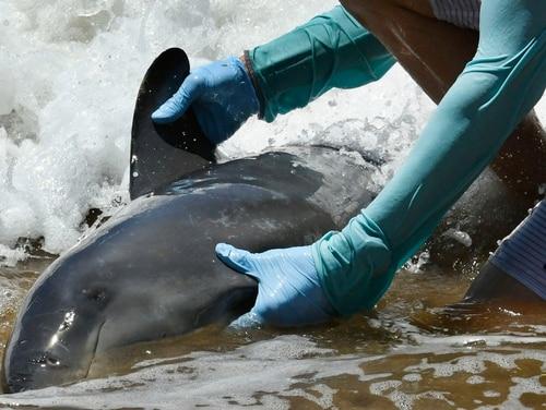 A worker handles a melon-headed whale stranded on a beach in Kihei, Hawaii on Thursday. (Matthew Thayer/The News via AP)