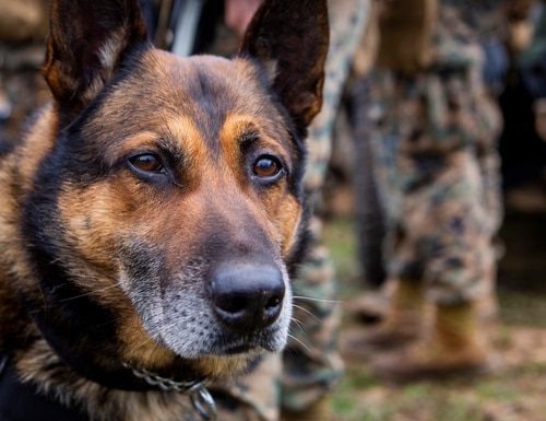 Denny, a Marine Corps patrol explosives detection dog assigned to 1st Law Enforcement Battalion, waits before a battalion command post exercise at Marine Corps Base Camp Pendleton in California on Jan. 31, 2019. (Lance Cpl. Brendan Mullin/Marine Corps)