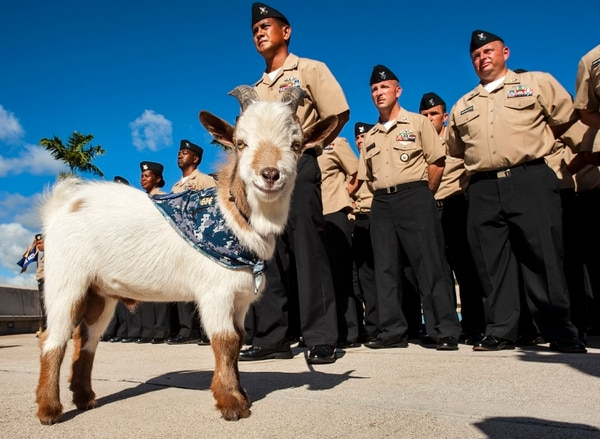 130806-N-WF272-057 PEARL HARBOR (Aug. 6, 2013) Chief petty officer (CPO) selectees assigned to various commands at Joint Base Pearl Harbor-Hickam stand in formation alongside Charlie the goat, representing the CPO organization. (U.S. Navy photo by Mass Communication Specialist 3rd Class Diana Quinlan/Released)