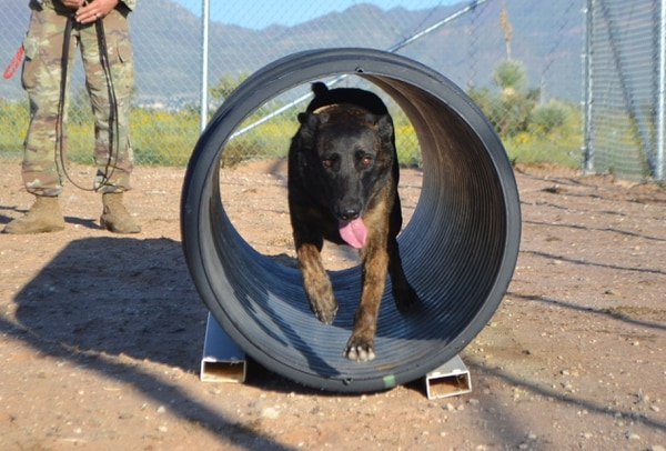 Kyra, a Dutch Shepherd military working dog assigned to the 513th Military Police Detachment, 93rd Military Police Battalion, runs through an obstacle at the detachment's K-9 kennel at fort Bliss Aug. 25, 2017. (Wendy Brown, Army)