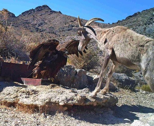 In this 2012 file photo captured by a U.S. Fish and Wildlife Service motion-activated camera, a golden eagle confronts a desert bighorn sheep at Desert National Wildlife Refuge in Nevada. (U.S. Fish and Wildlife Service via AP)