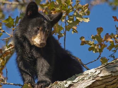 A black bear cub in the wild (National Park Service)
