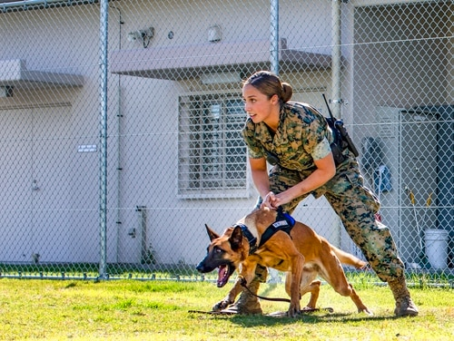Marine Corps Lance Cpl. Angela Cardone, a military working dog handler with Headquarters and Headquarters Squadron, conducts training at Marine Corps Air Station Iwakuni, Japan, Oct. 19, 2018. (Lance Cpl. Seth Rosenberg/Marine Corps)