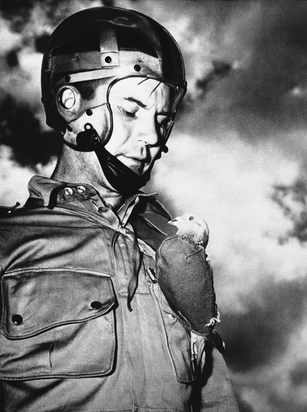 When U.S. Army paratroopers, dropped behind enemy lines and cannot use radio communication for fear of revealing their positions, they use trained pigeons that were also dropped by parachute in special containers or pigeons strapped to their chests. The pigeon, encased in a special jacket, is attached to the paratrooper's jacket on Sept. 11, 1943. (AP Photo)