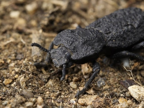 The diabolical ironclad beetle can withstand being crushed by forces almost 40,000 times its body weight. (Jesus Rivera/University of California, Irvine, via AP)
