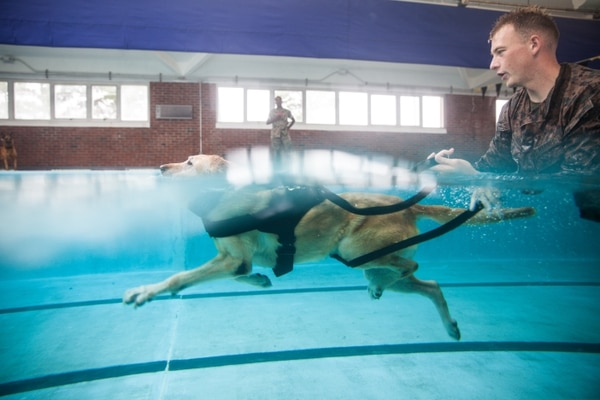 Sgt. Joseph Adams, a 2nd Law Enforcement Battalion military working dog handler, shouts commands at his dog, Gunner, as they swim in the Area 5 pool at Marine Corps Base Camp Lejeune, North Carolina, Aug. 3, 2018. (Cpl. Austyn Saylor/Marine Corps)