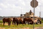 Fort Polk escalates wild horse roundups, says animal rights group