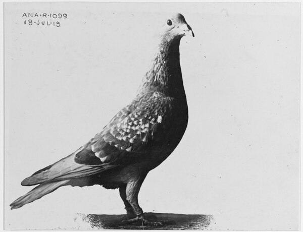 Homing pigeon operated at the Naval Air Station, Pauillac, France, during the last year of World War I, when only 15 months old.