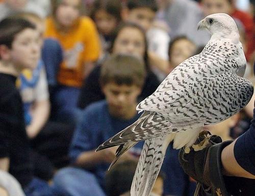 Aurora was a rare white gyrfalcon and Air Force Academy mascot. (Jerilee Bennett/The Gazette via AP)