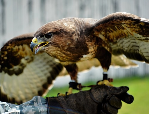 C130, a common buzzard, spreads his wings during a Loomacres Wildlife demonstration at Royal Air Force Lakenheath, England, July 7. Loomacres uses predatory birds, including Harris hawks, red-tailed hawks, peregrine falcons and goshawks as part of their bird-deterrence program on RAF Lakenheath and RAF Mildenhall. (Master Sgt. Eric Burks/U.S. Air Force)