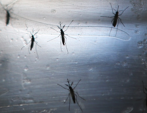 RECIFE, BRAZIL - JUNE 02: Aedes aegypti mosquitos are seen in a lab at the Fiocruz Institute on June 2, 2016 in Recife, Brazil. Microcephaly is a birth defect linked to the mosquito-borne Zika virus where infants are born with abnormally small heads. The Brazilian city of Recife and surrounding Pernambuco state remain the epicenter of the Zika virus outbreak, which has now spread to many countries in the Americas. A group of health experts recently called for the Rio 2016 Olympic Games to be postponed or cancelled due to the Zika threat but the WHO (World Health Organization) rejected the proposal. (Photo by Mario Tama/Getty Images) ORG XMIT: 643674979 ORIG FILE ID: 537671534