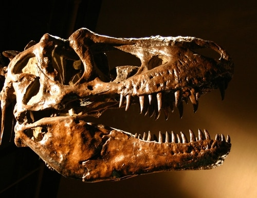 Select fossils, similar to the T. rex seen here, were found on land owned by the U.S. Army Corps of Engineers. (Getty Images)