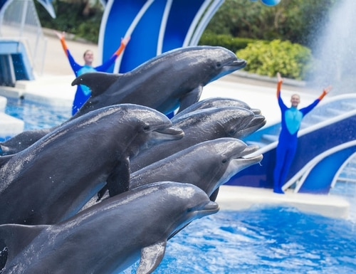 Veterans can get free tickets online to see these dolphins at SeaWorld Orlando through July 4, as well as for other SeaWorld and Busch Gardens theme parks. (SeaWorld)
