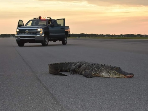 An alligator was discovered on the flightline at MacDill Air Force Base in Florida early Tuesday morning. It was believed to have wandered over from one of the bodies of water near the base, and was coaxed back to the water with the help of a front-end loader. (MacDill Air Force Base)