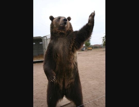 A grizzly bear invites you to get some in this 2007 image. (Christina Bush/AP)