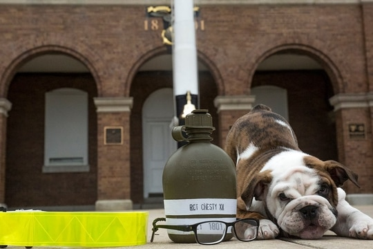 The Marine Corps' latest mascot Chesty XV starts training next week to participate in parade ceremonies. (Marine Corps)