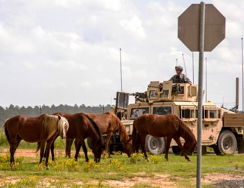 In this Sept. 20, 2014, file photo provided by the U.S. Army, feral horses graze in front of a soldier riding in an armored Humvee, as part of a security detail, at the Fort Polk Joint Readiness Training Center, in Fort Polk, La. (Sgt. William Gore/Army via AP)