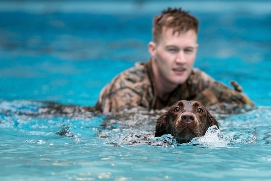 Cpl. Kyle Cary, a 2nd Law Enforcement Battalion military working dog-handler, supervises his dog, Brandy, as they swim in the Area 5 pool at Marine Corps Base Camp Lejeune, N.C., Aug. 3, 2018. 2nd LEB practiced aggression training as part of specialized training to familiarize their dogs with water. (Cpl. Austyn Saylor/Marines)