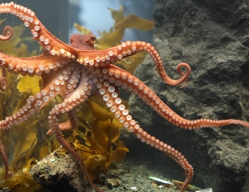 The flexibility of the ever-tapering tentacles on an octopus, combined with grippers, inspired a robotic grabbing tool. (Pseudopanax via Wikimedia Commons)