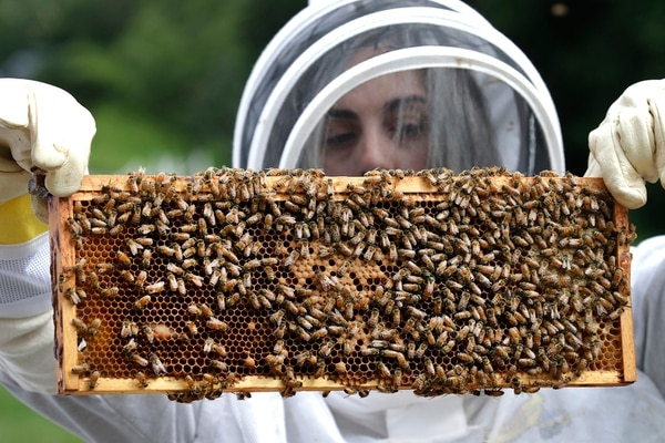 In this Aug. 7, 2019, photo, U.S. Army veteran Wendi Zimmermann transfers a frame of bees to a new box, while checking them for disease and food supply at the Veterans Affairs' beehives in Manchester, N.H. (Elise Amendola/AP)