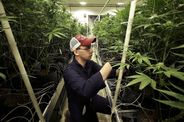 Mark Vlahos tends to cannabis plants on July 12, 2018, at Sira Naturals medical marijuana cultivation facility in Milford, Mass. (Steven Senne/AP)