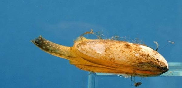 Since hitching unsolicited rides in boat ballast water in the late 1980s, invasive quagga mussels, which are native to Ukraine, have caused massive changes to the ecology of the Great Lakes. (NOAA)