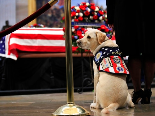 "In this Dec. 4 photo, Sully, former President George H.W. Bush's service dog, pays his respect to President Bush as he lies in state at the U.S. Capitol in Washington. The 2-year-old yellow Labrador Retriever on Wednesday, Feb. 27, 2019, joined Walter Reed National Military Medical Center's dog program to help wounded veterans. Sully offered his paw as he was administered an oath streamed on Facebook to ""support, comfort and cheer warriors and their families."" (Manuel Balce Ceneta/AP)"