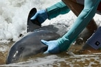 Stranded whales die again on Hawaiian shores
