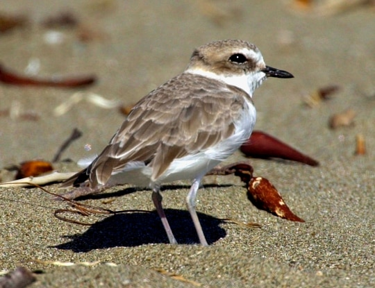 In this Sept. 27, 2001, file photo, is a western snowy plover at a beach nesting area in San Luis Obispo County on California's Central Coast. (Reed Saxon/AP)